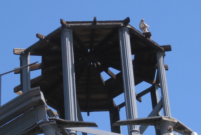 Red Tail Hawk on the roof of the Harlem Fire Watchtower